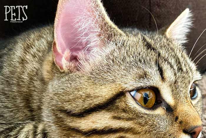 detalle de las orejas de un gato