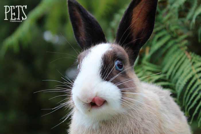 conejo lengua