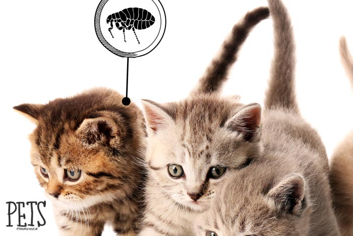gatos se rascan por pulgas