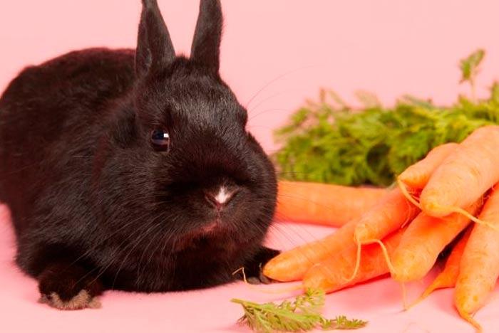 Puede Un Conejo Comer Zanahorias Pets Bioforestal ¿ porque mi conejo no come zanahoria? puede un conejo comer zanahorias